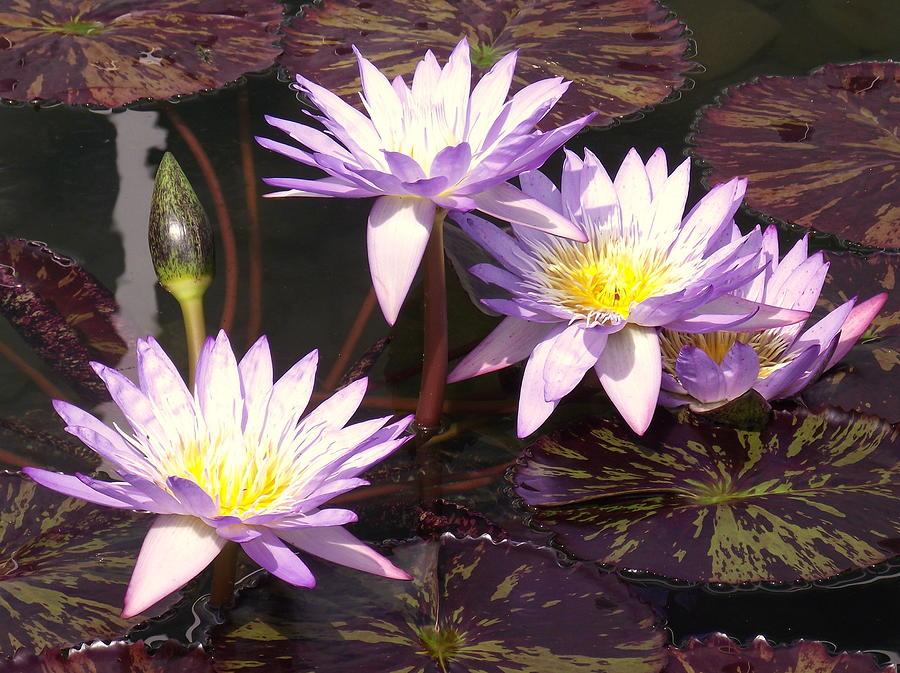 Water Lily 4 by John Olson