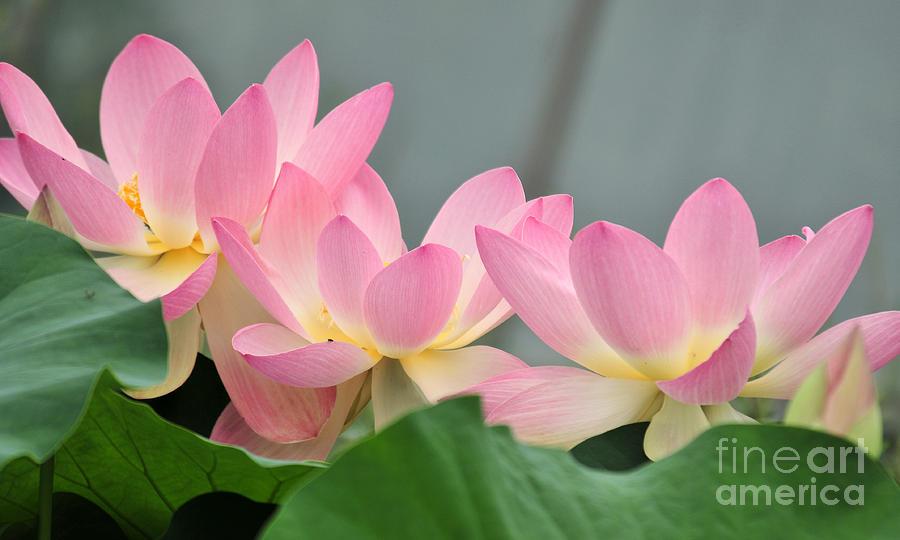 Water Photograph - water lily 57 Pink Lotus by Terri Winkler