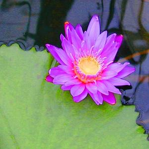 Water Lily Photograph - Water Lily by Richard Nodine