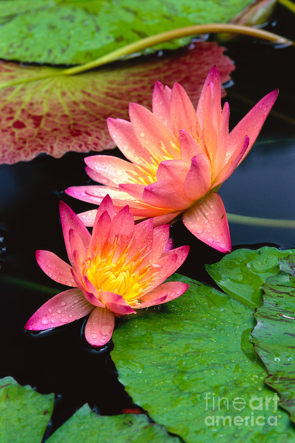 Bill Brennan Photograph - Water Lily by Bill Brennan - Printscapes