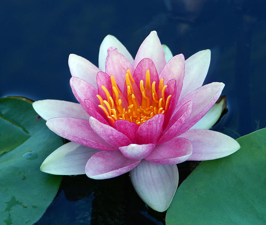 Water Lily Photograph - Water Lily by Bill Morgenstern