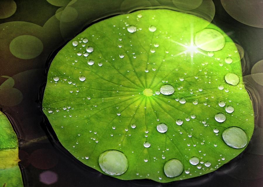 Water Lily Digital Art