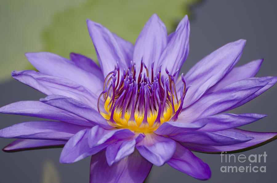 Flower Photograph - Water Lily Director George T Moore by Terri Winkler