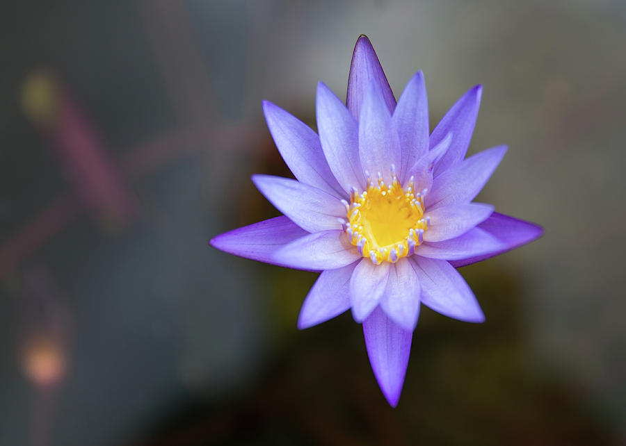 Water Lily Digital Art - Water Lily by Dorothy Binder