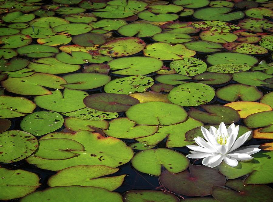 Green Photograph - Water Lily by Elisabeth Van Eyken