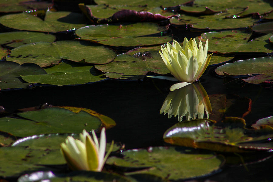 Water Photograph - Water Lily by Fabio Giannini