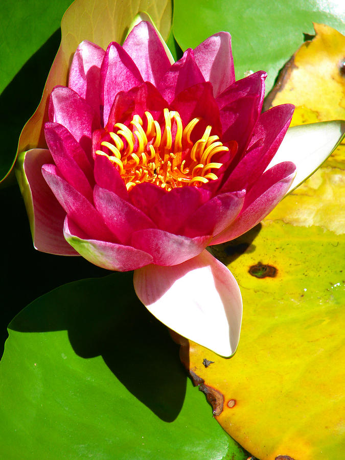 Water Lily Photograph - Water Lily Fc 2 by Diana Douglass