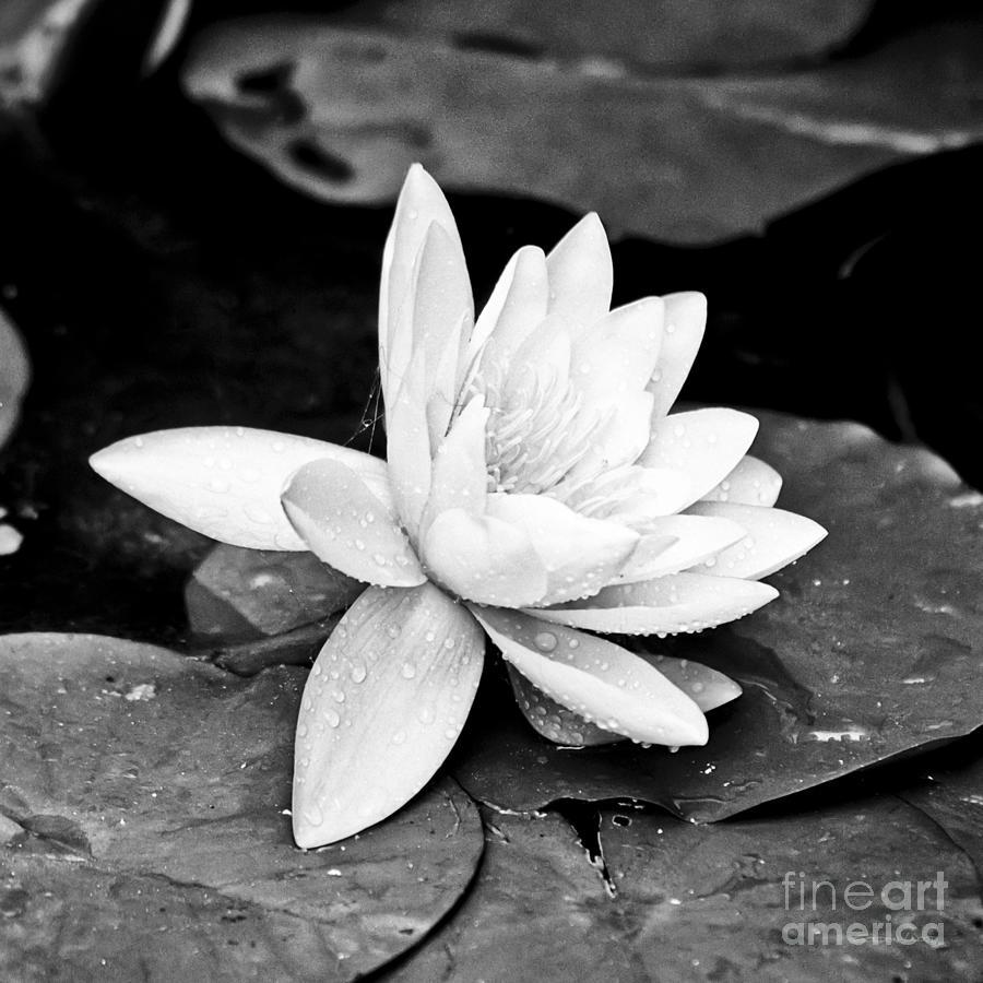 Water lily flower photograph by gordon wood european photograph water lily flower by gordon wood izmirmasajfo