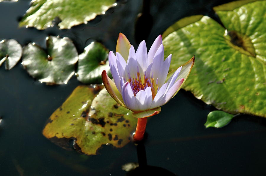 Water Lily Photograph - Water Lily For You by Laura Ogrodnik