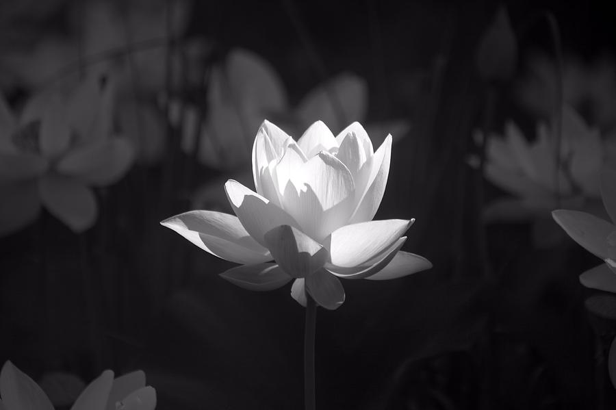 Water Lily Photograph - Water Lily Garden by April Ann Canada - Raleigh Art Gallery