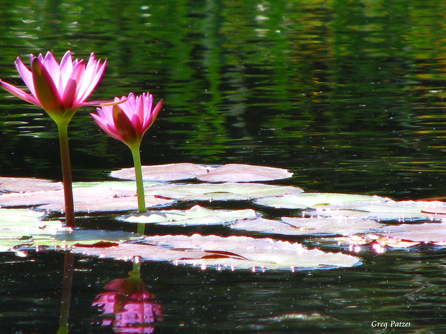 Patzer Photograph - Water Lily by Greg Patzer