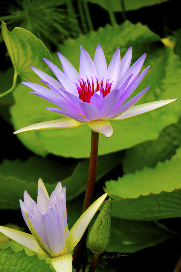 Water Lily Photograph - Water Lily In A Tropical Garden_4657 by Olivia Novak