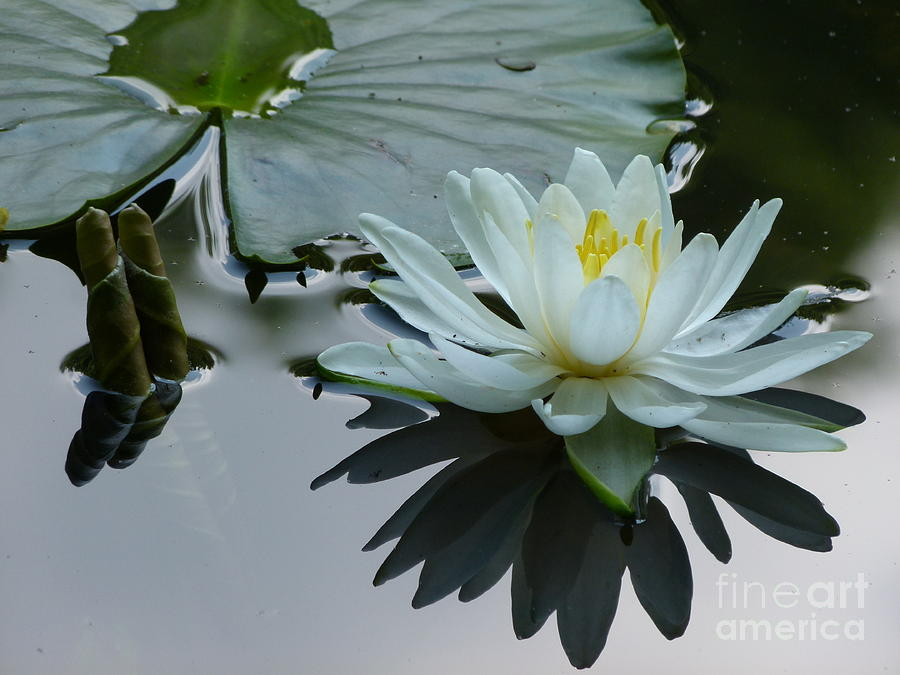 Water Lily in Spring by Jane Ford