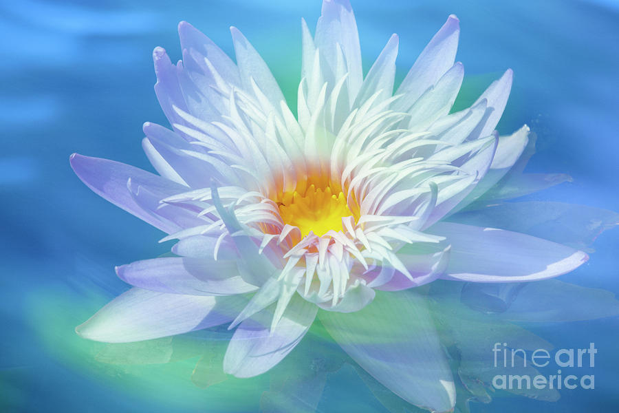 Water Lily In  Turquoise Pond Photograph