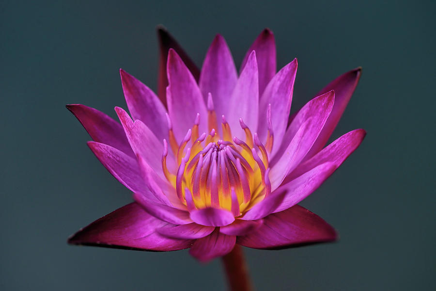 Water Lily Photograph - Water Lily Iv by Ravi S R