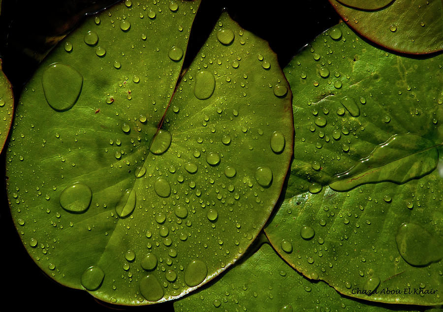Green Photograph - Water Lily Leaf by Chaza Abou El Khair