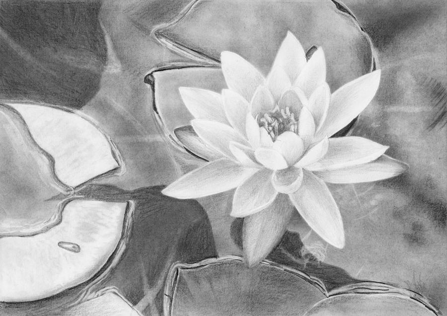 Pencil Drawing - Water Lily by Nolan Clark