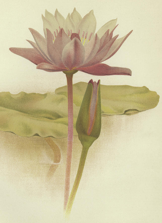 Water Lily Drawing - Water Lily  Nymphaea Zanzibarensis by English School
