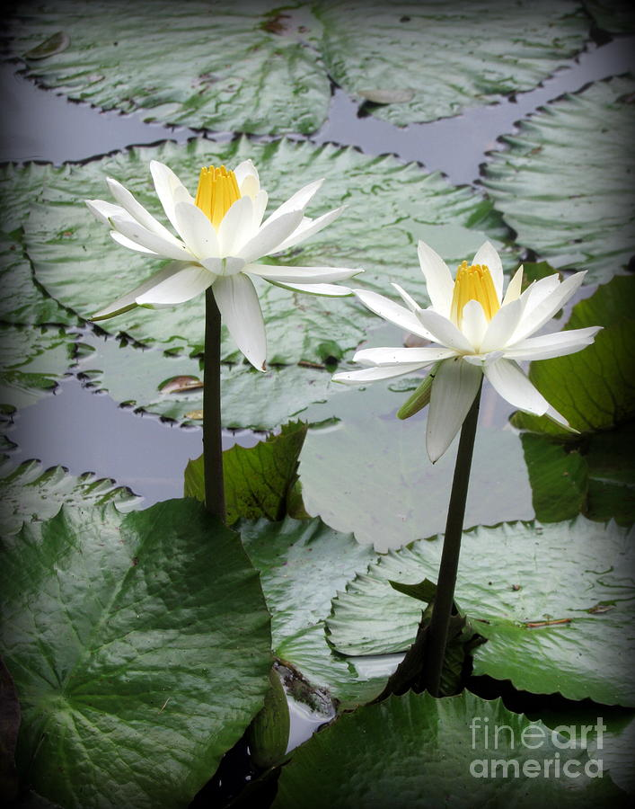 Oahu Photograph - Water Lily on Oahu by Joy Patzner