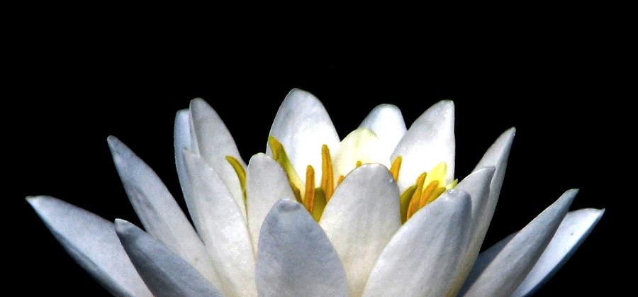 Water Lily Petals Photograph - Water Lily Petals by Angela Davies