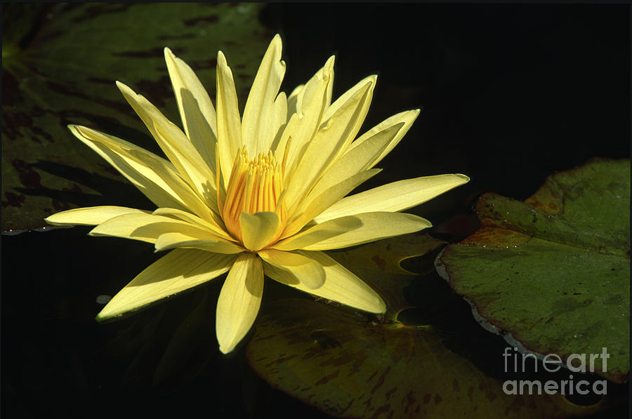 Flowers Photograph - Water Lily by Sandra Bronstein