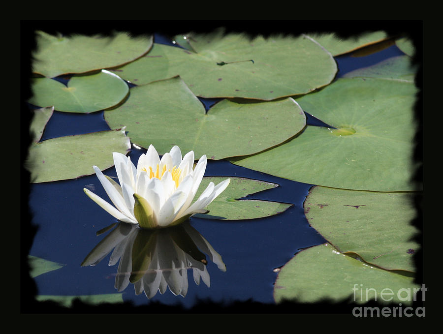 Water Lily With Black Border Photograph by Carol Groenen