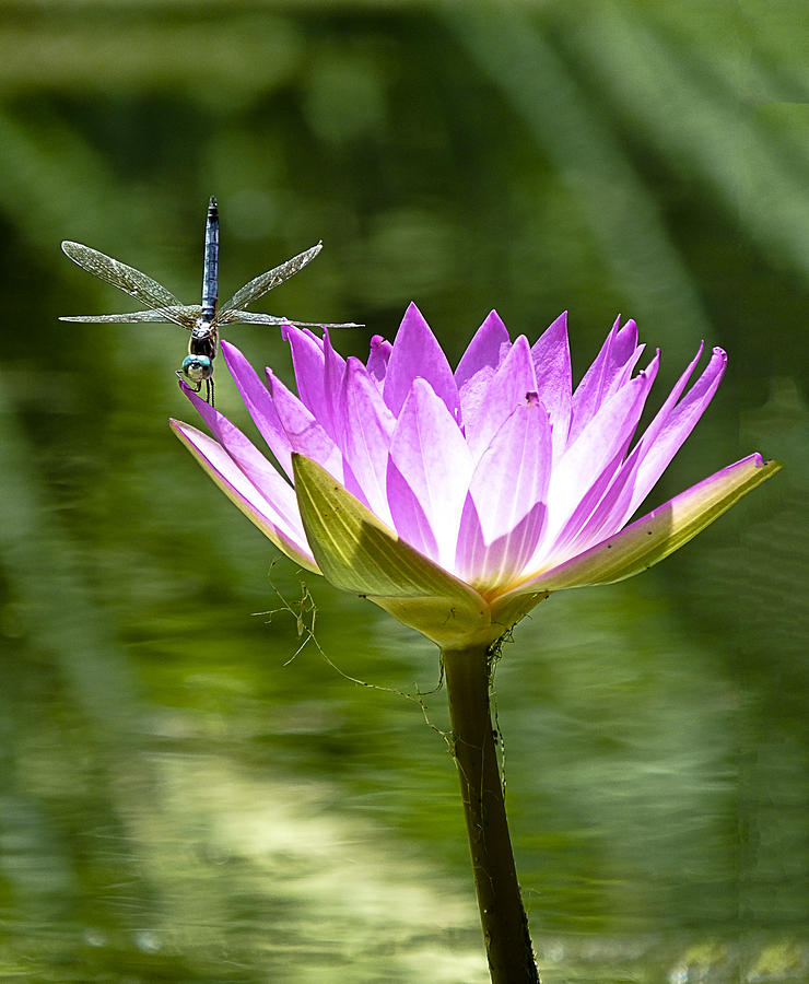 Water Lily Photograph - Water Lily With Dragon Fly by Bill Barber