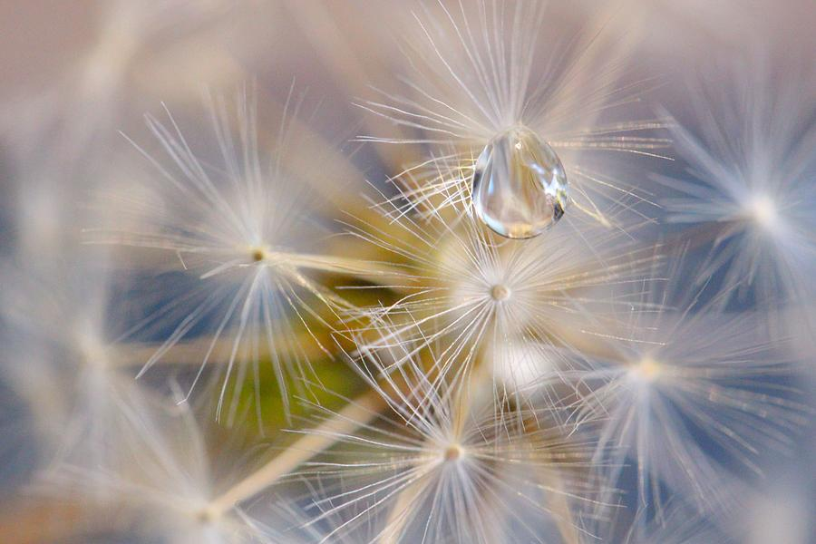 Dandelion Photograph - Water Pearl by Connie Grainger