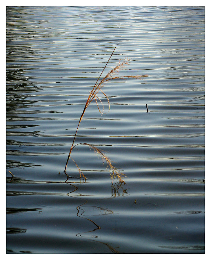 Shelby Farms Photograph - Water Reed by Dawn Davis