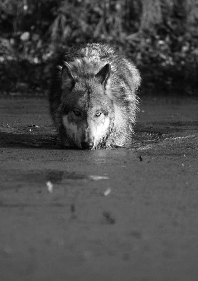 Water Wolf I Photograph by Shari Jardina