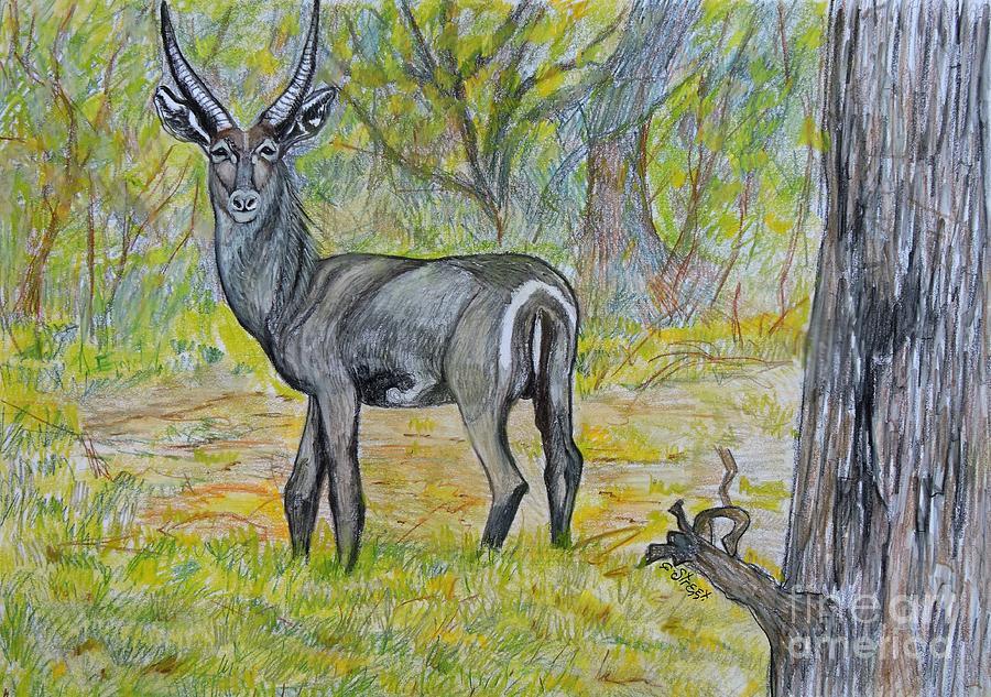 Waterbuck At Kruger Drawing