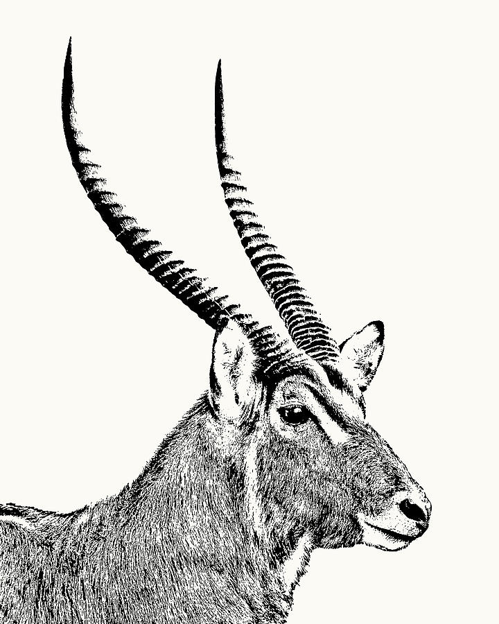 Waterbuck Male Portrait by Scotch Macaskill