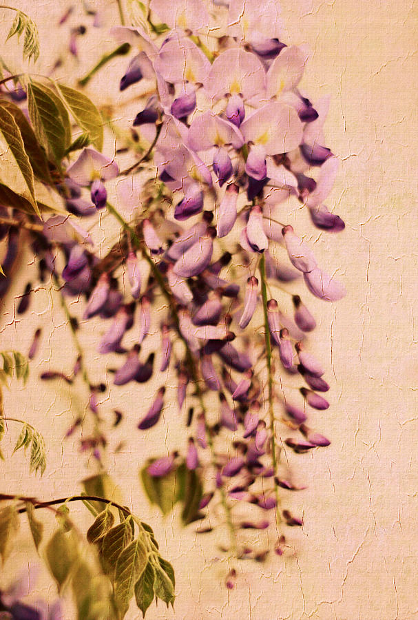 Flowers Photograph - Watercolor Wisteria by Jessica Jenney