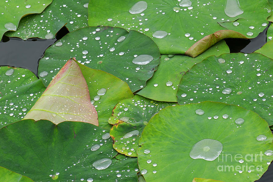 Water Lilies Photograph - Waterdrops on lotus leaves by Silke Magino