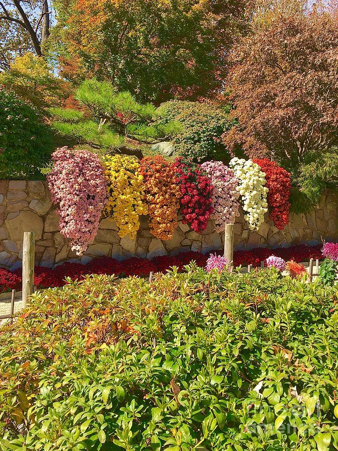 Waterfall Rainbow Mums At The Missouri Botanical Gardens Photograph By Debbie Fenelon