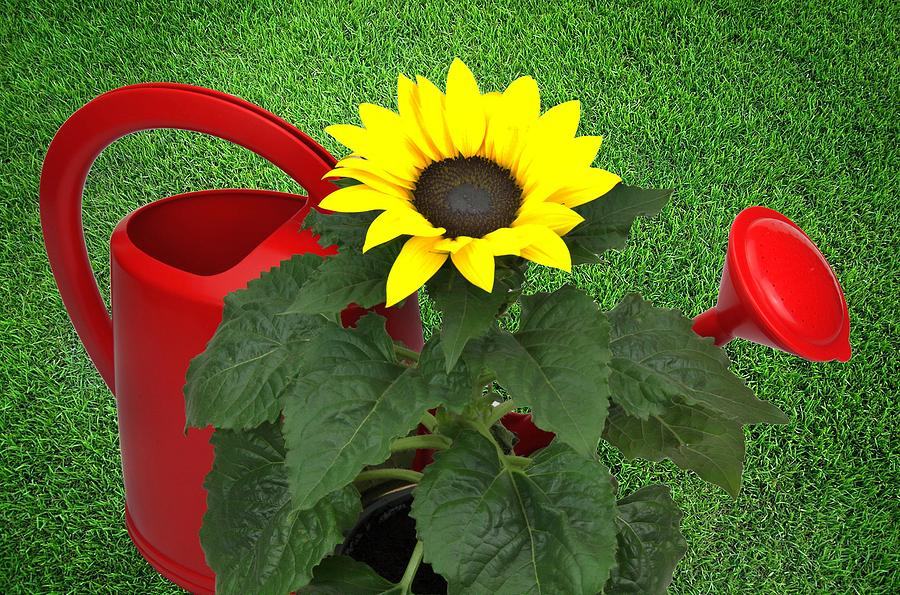 Sunflower Photograph - Watering With Sunflower by Manfred Lutzius
