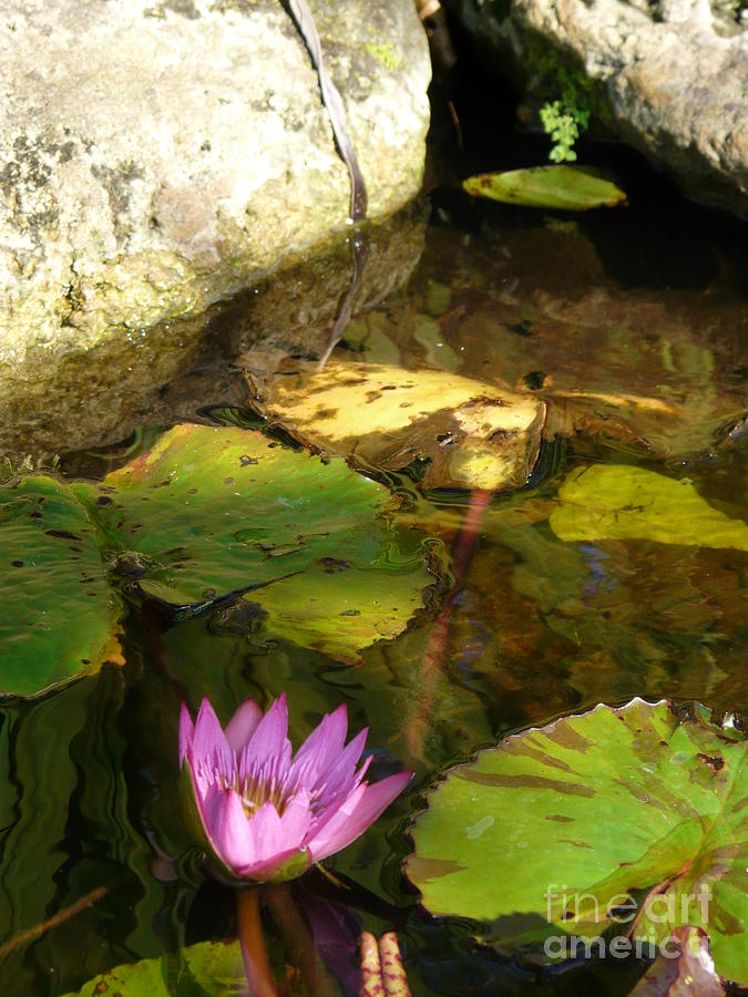 Macro Photograph - Waterlilies 2 by Donna McLarty