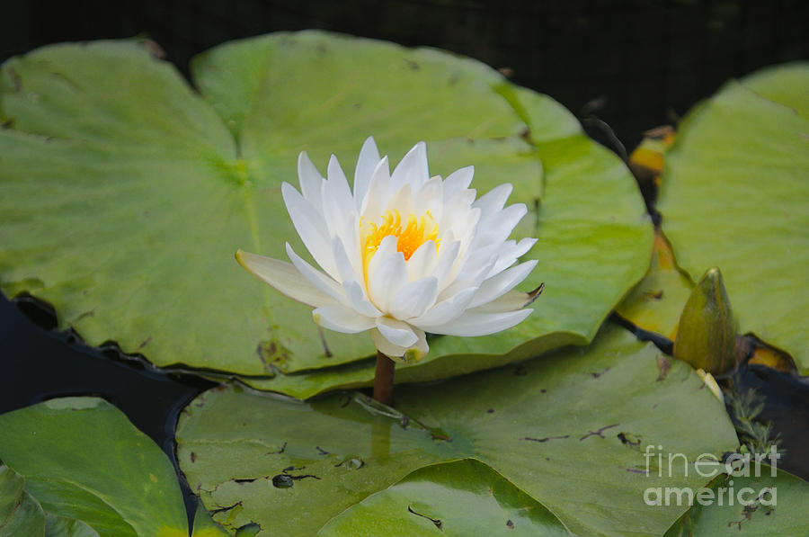 Flower Photograph - Waterlilies by Miguel Celis