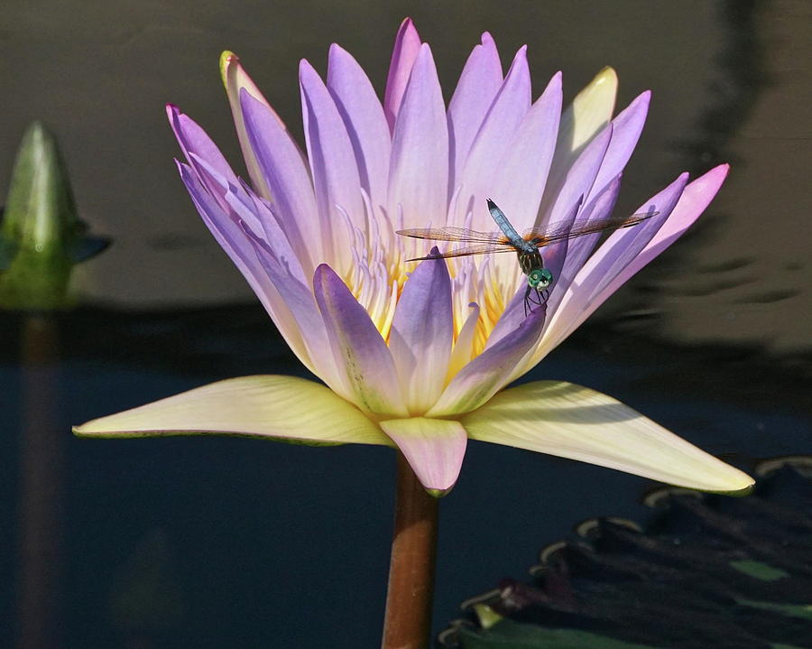 Waterlily and Dragonfly by Byron Varvarigos