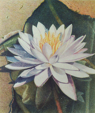 Floral Painting - Waterlily II by Bonnie Haversat