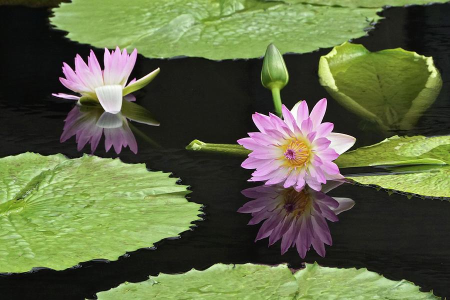 Waterlily Reflections In Dark Water by Byron Varvarigos
