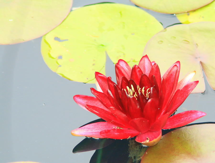 Burgundy Photograph - Waterlily  by Shelley Wilson