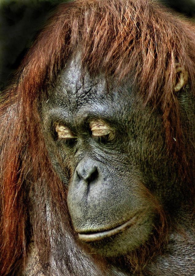 Orangutan Photograph - Wattana by Julie L Hoddinott