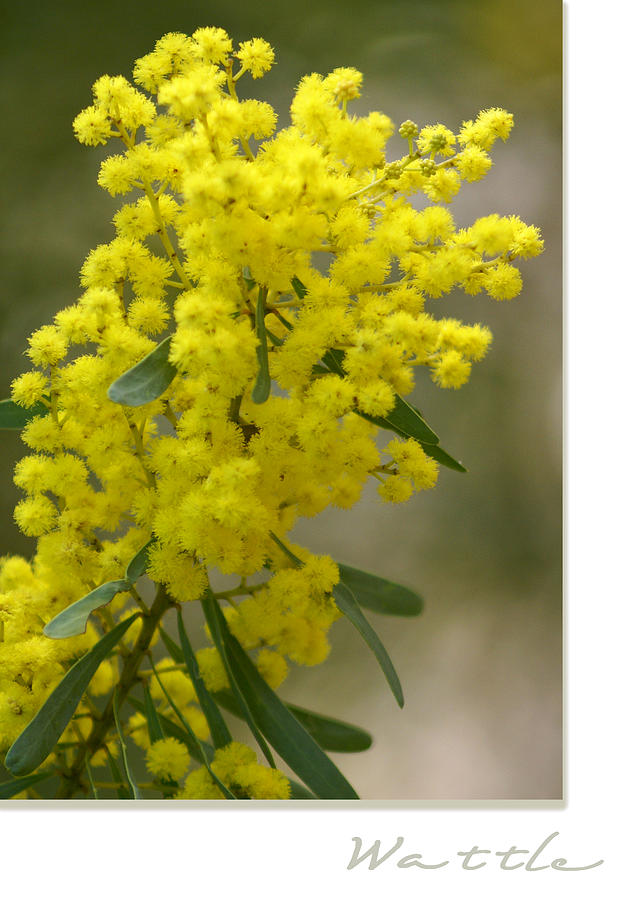 Nature Photograph - Wattle by Holly Kempe