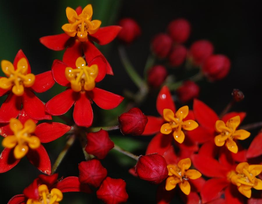 Asclepias Photograph - Waxy by Jean Booth