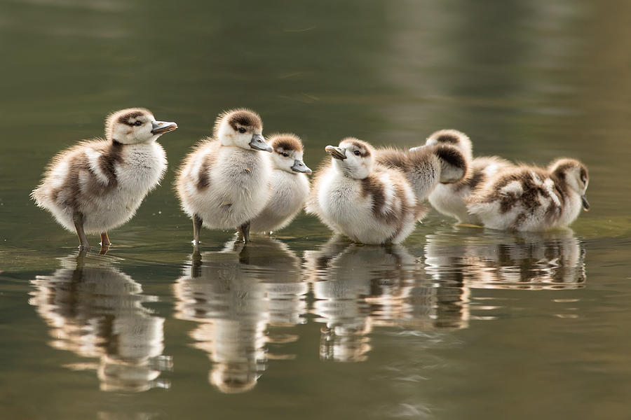 Gosling Photograph - We Are Family - Seven Egytean Goslings In A Row by Roeselien Raimond