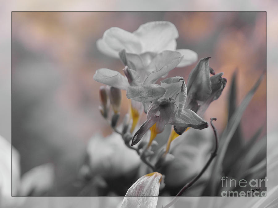 We Fade To Grey Freesia's by Lance Sheridan-Peel