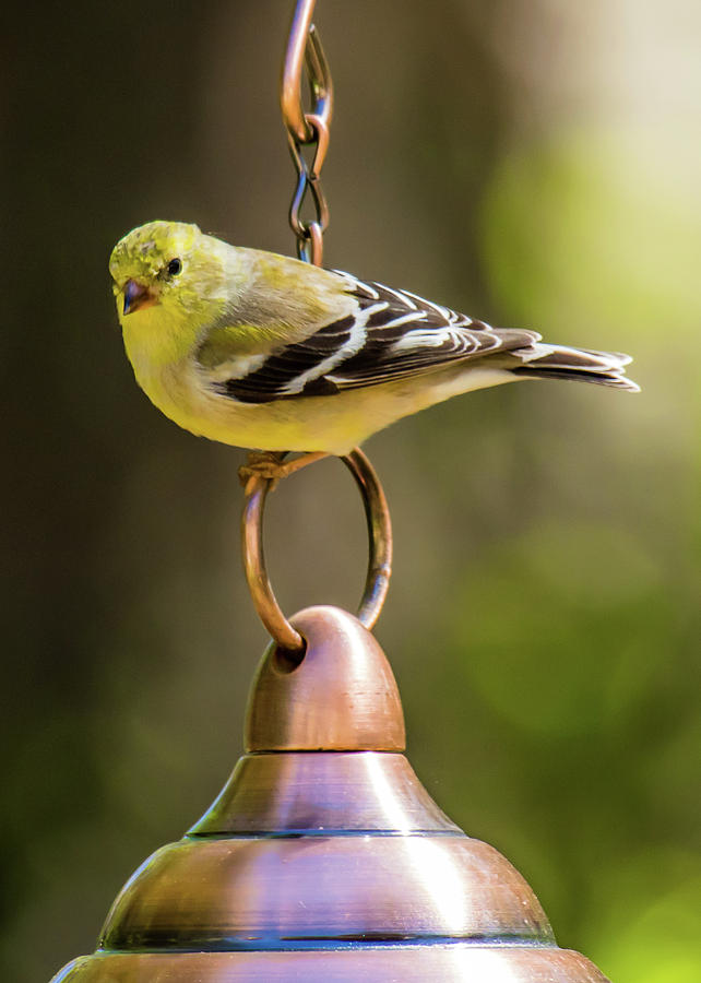 American Goldfinch Photograph - We Need More Food Mr. Jackson by Robert L Jackson