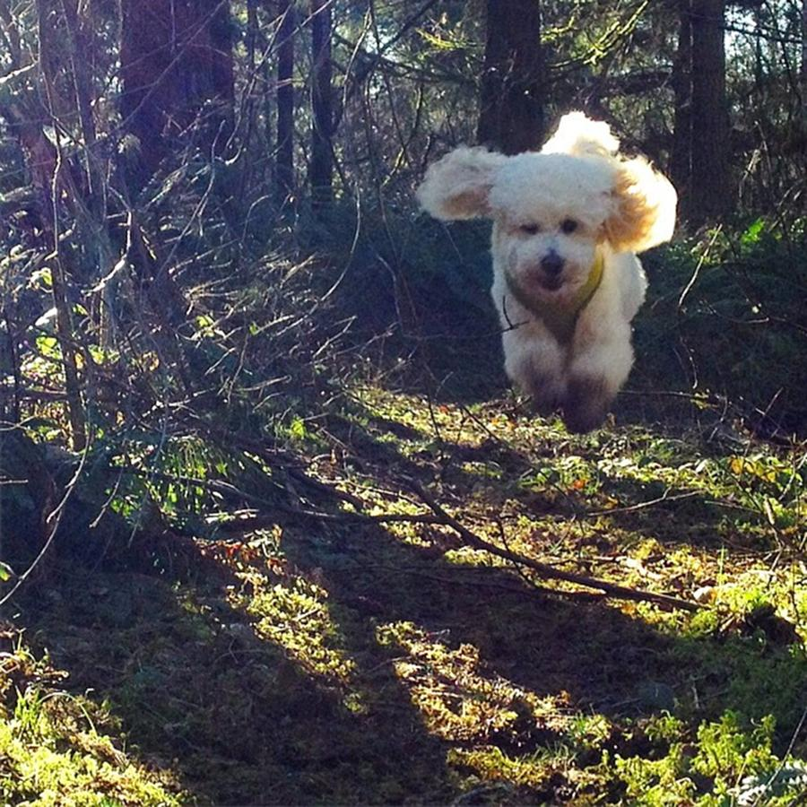 Poodle Photograph - We Walk Down The Trail While Georgie by Blenda Studio
