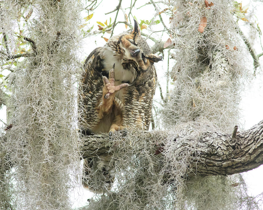 Great Horned Owl Photograph - Weapon Of Mass Destruction by Jim Gray